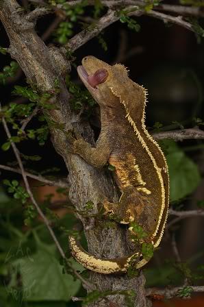 Crested Gecko Morphs SuperPinstripeAndrewGilpin