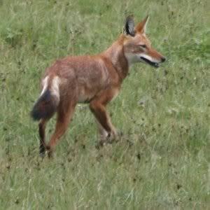 The Ethiopian Wolf EthiopianWolf