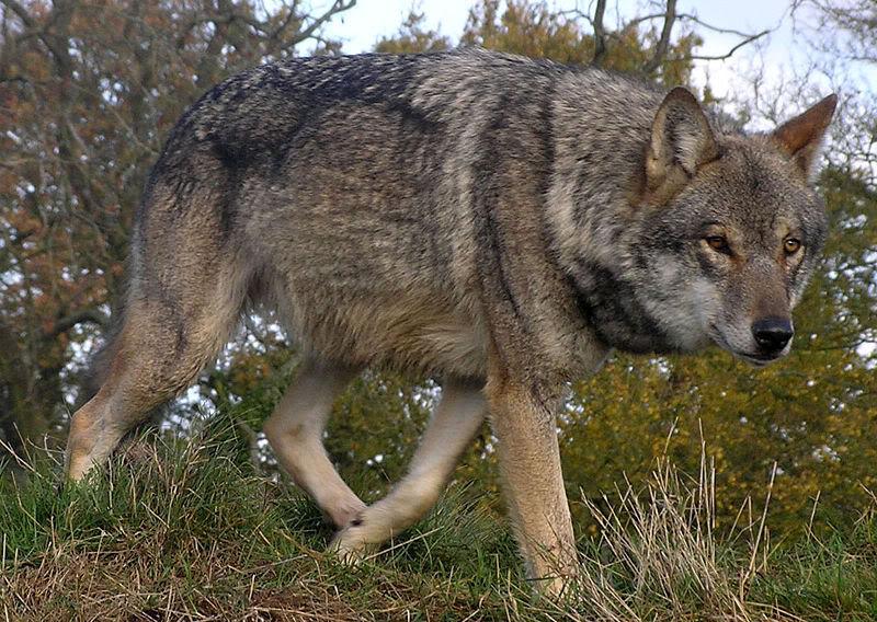 The Eurasian Wolf Eurasian_Wolf