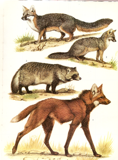The most expensiv animal in the collection - Page 2 Helmutdillermanedwolfetc2