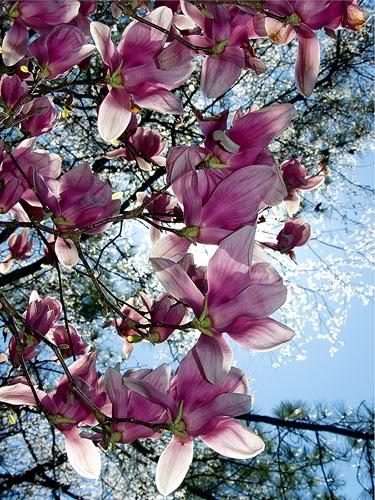 Ah sa shumë të dua! Magnolia-1