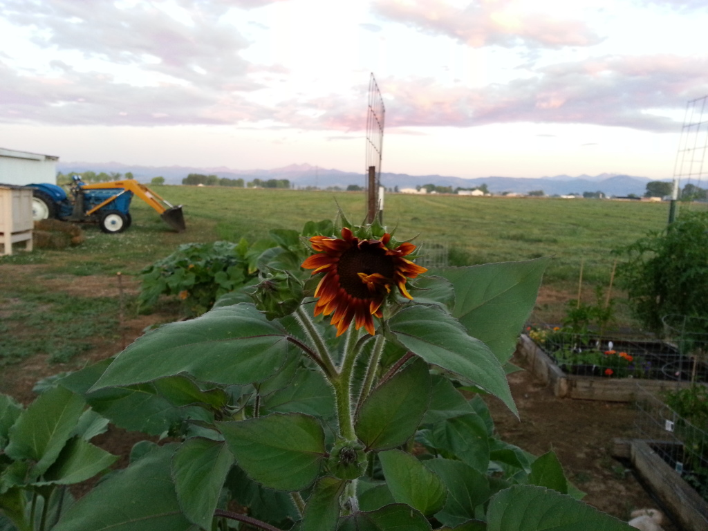 Friday Rookie Topic: Sunflowers 20120730_0555000