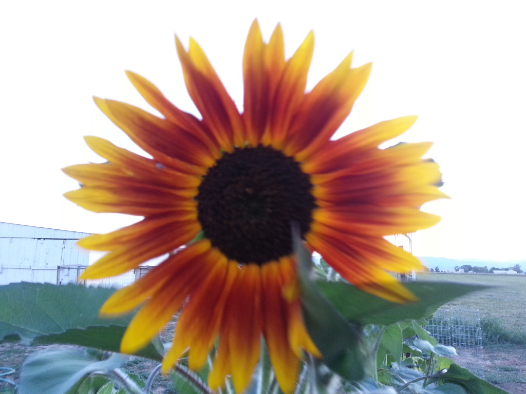 Friday Rookie Topic: Sunflowers 20120802_201512