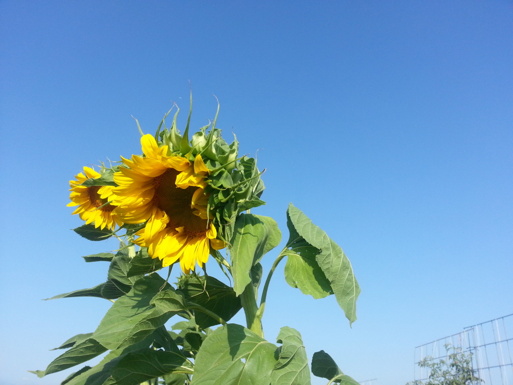 Friday Rookie Topic: Sunflowers 20120818_082858