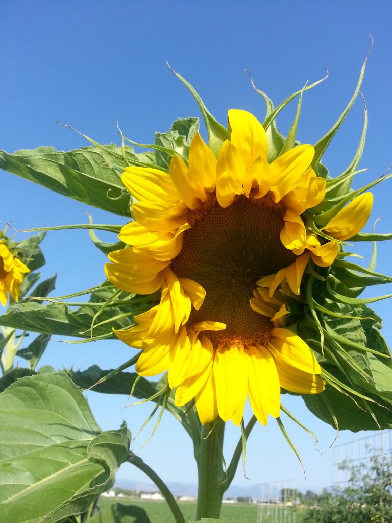 Mammoth Russian Sunflower Seeds  20120818_082936