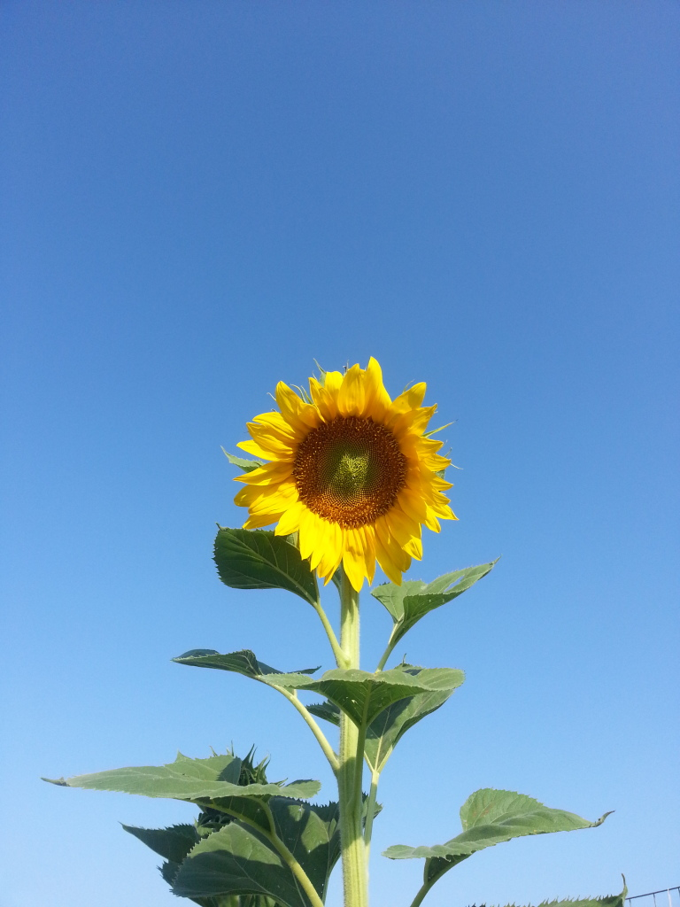 Friday Rookie Topic: Sunflowers 20120818_082943