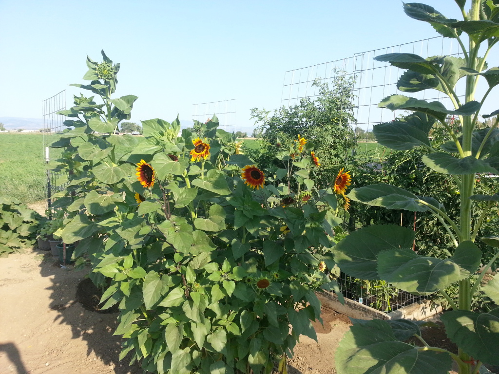 Friday Rookie Topic: Sunflowers 20120818_083014