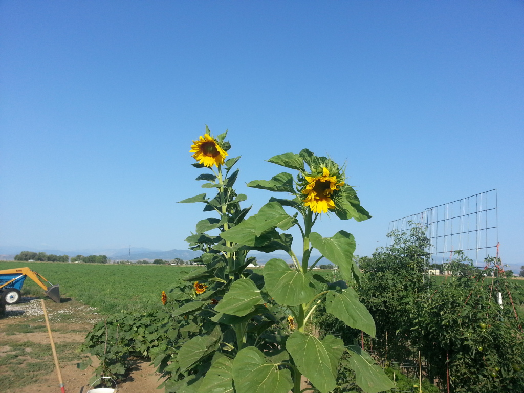 Friday Rookie Topic: Sunflowers 20120818_083034