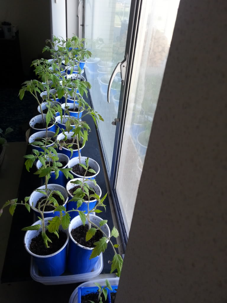 ToMaTo TuEsDaY!  Western mountains & high plains! - Page 2 20130428_095147_zps37169dee