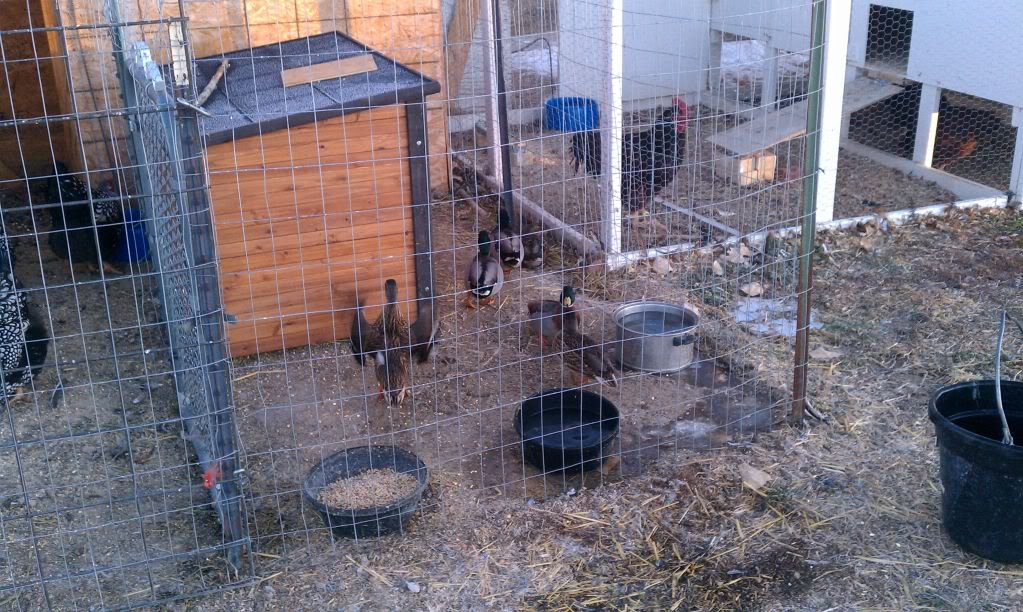 Chickens and the SFG - Page 2 IMG_20111218_073835