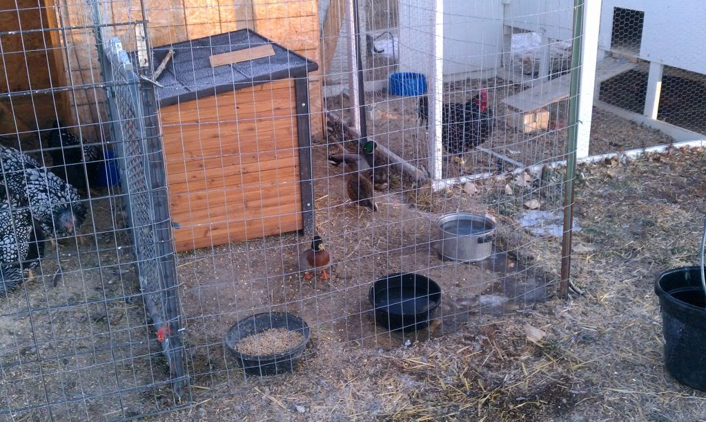 Chickens and the SFG - Page 2 IMG_20111218_073843