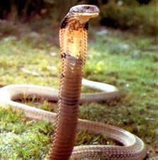Help!  Good snake or bad snake???? ImagesqtbnANd9GcTLcpE5SmBeAdwSWPIgHPkzK7TNT4bdWPd2nuaMetnxo9vxiSsZ