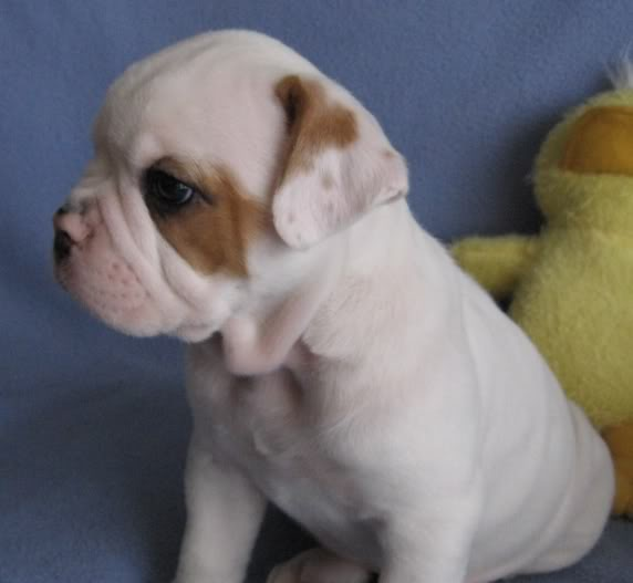 CHIOTS BULLDOG AMERICAIN A VENDRE Bully6wksprofileface
