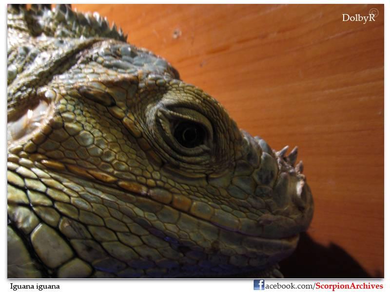 DolbyR's Iguanas IMG_1007