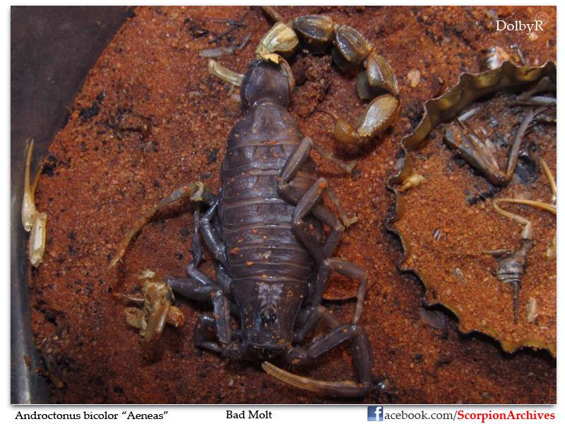 Who molted today? (Scorpion molting pics) IMG_1662