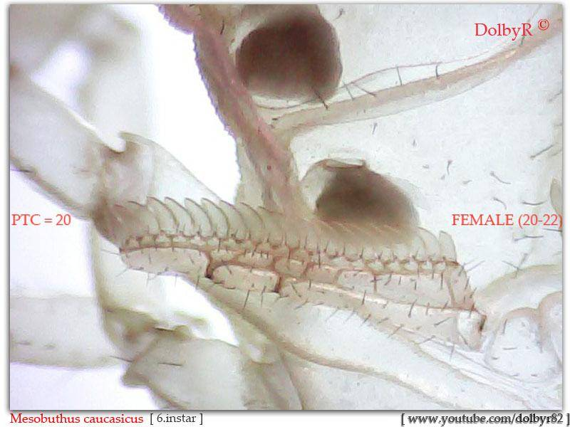 [Discussion] Mesobuthus spp. M_caucasicus_female_sexing-1_zps7d7d462f
