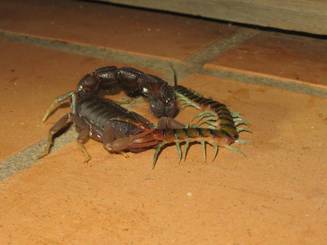 Parabuthus at war with centipede ParabuthusvsCentipede1
