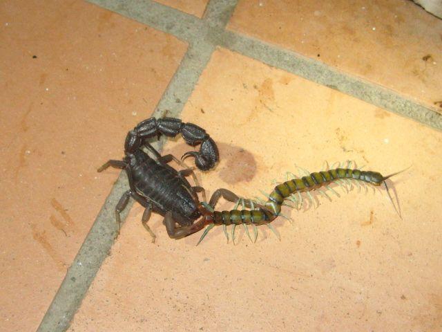Parabuthus at war with centipede ParabutthusvsCentipede3