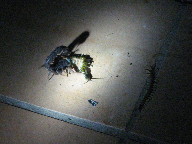 Parabuthus at war with centipede ParavsCentandaudience