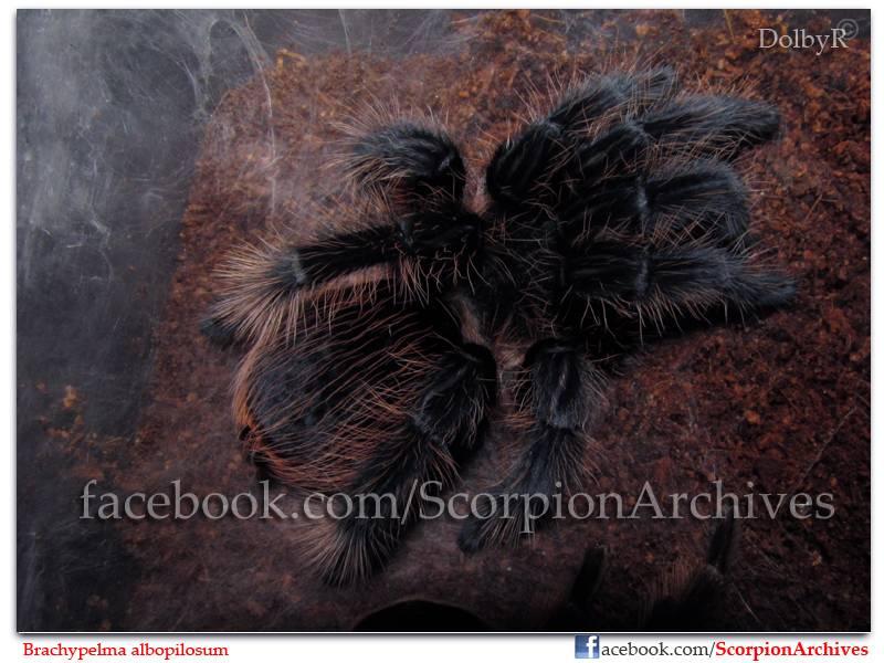 DolbyR's Tarantulas IMG_1515