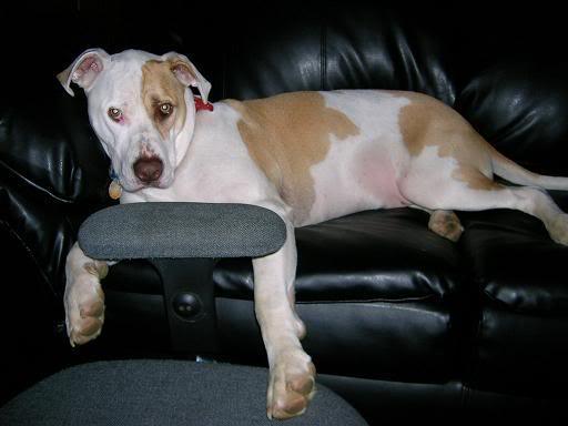 My dog, Boy<3 Tiredpoochhead