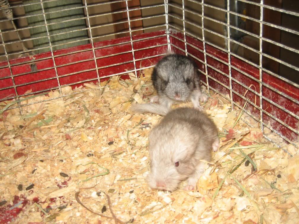 Chinchilla babies 005-3