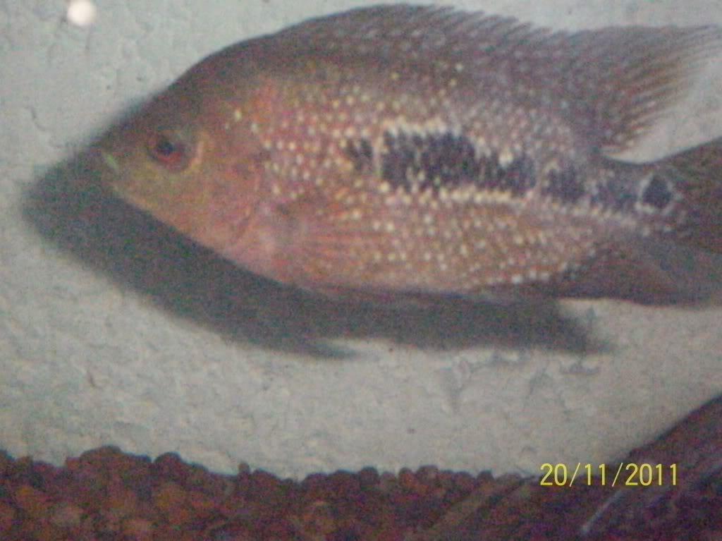 algunos de mis pecesillos 100_0094