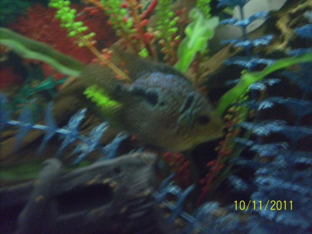 algunos de mis pecesillos BLUESHORT