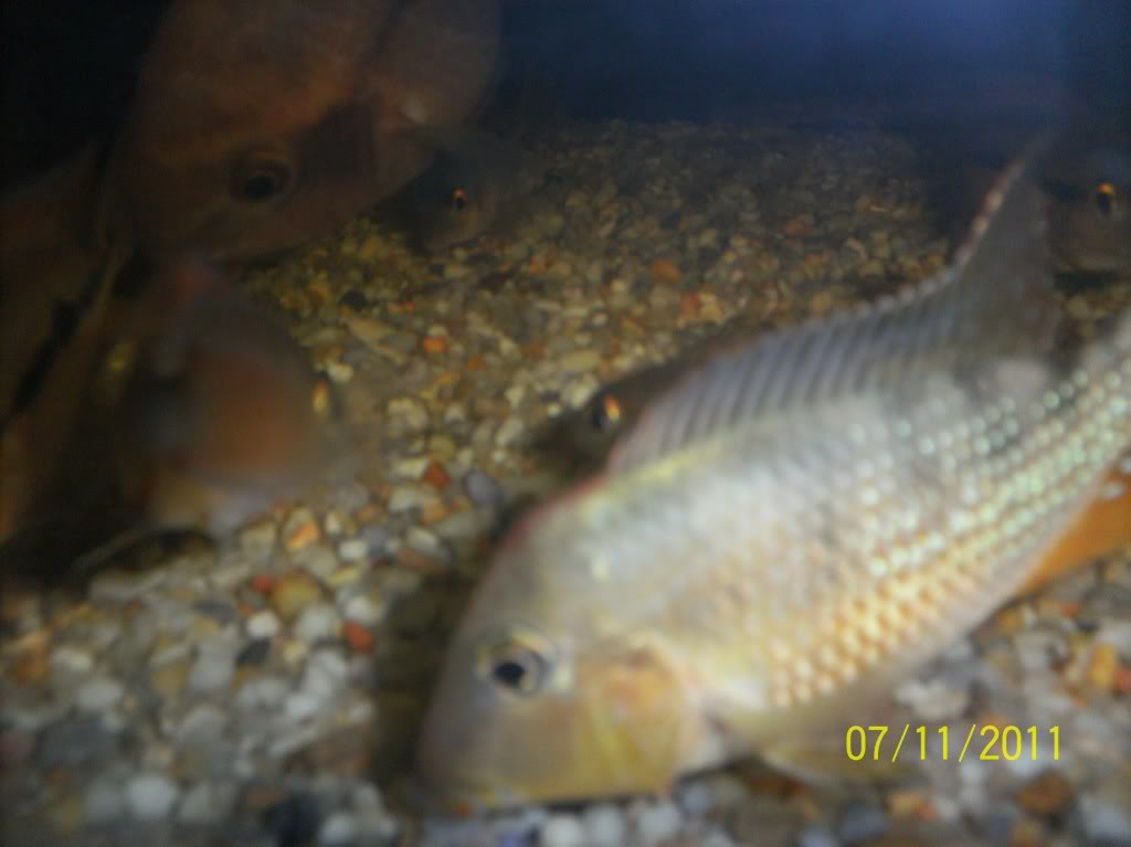 algunos de mis pecesillos GEOPAGUS