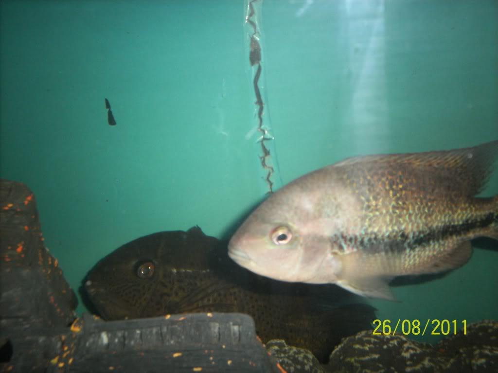 algunos de mis pecesillos Pfenes