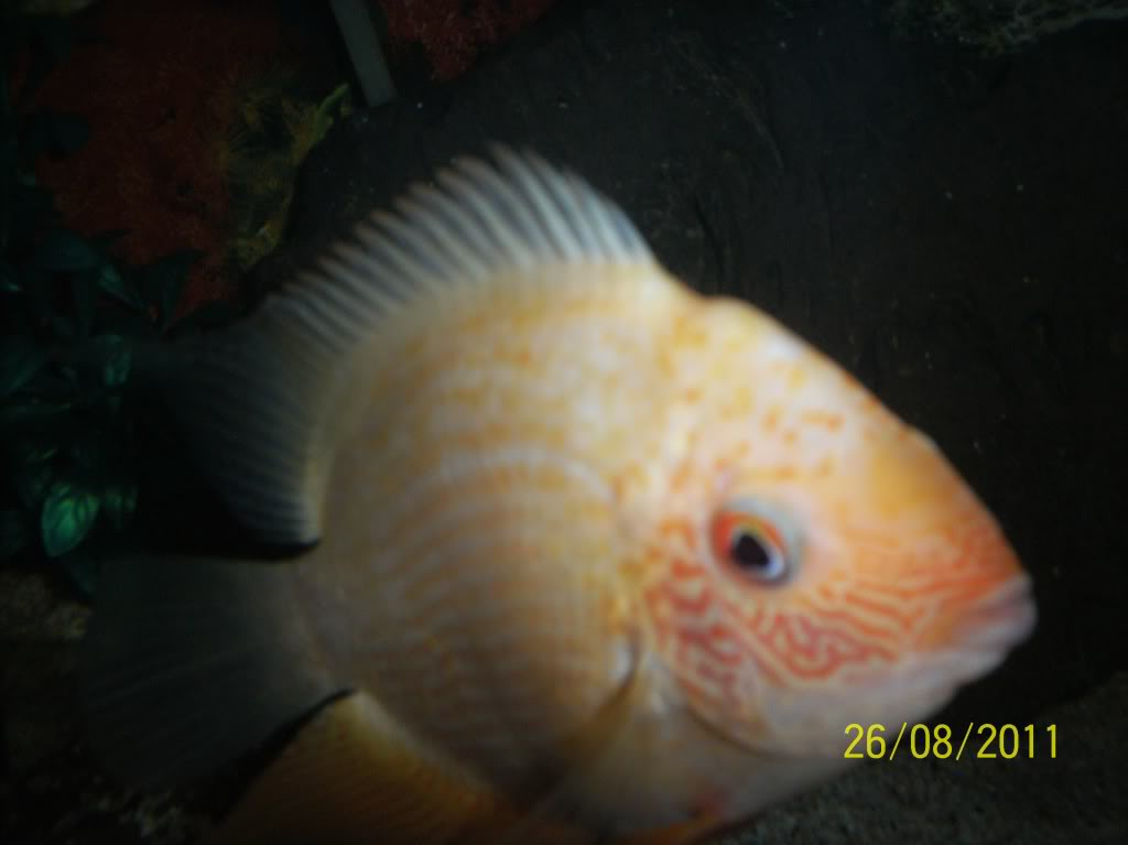 algunos de mis pecesillos Severumredp-1