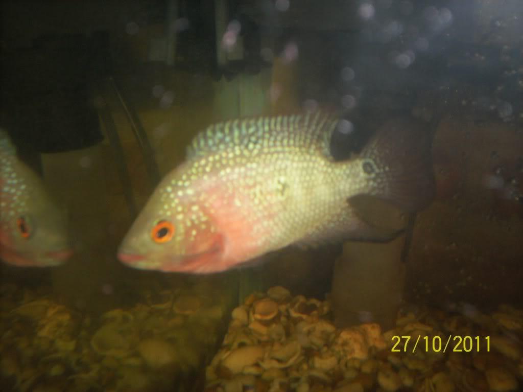 algunos de mis pecesillos Sshem1