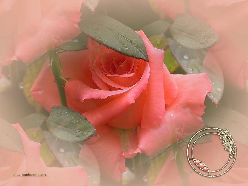 BUON GIUGNO Rose