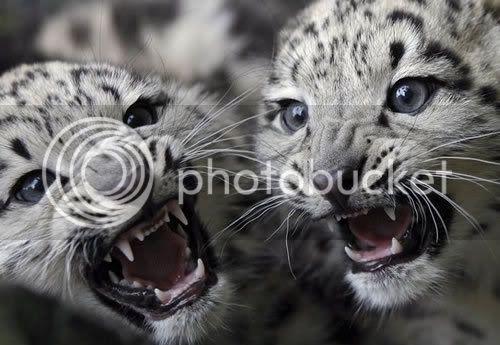 Snježni leopardi Baby-snow-leopard