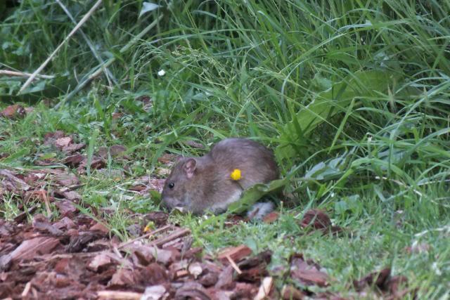 Rats sauvages DSCF4496