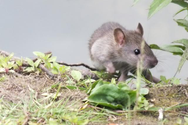 Rats sauvages DSCF4610-1