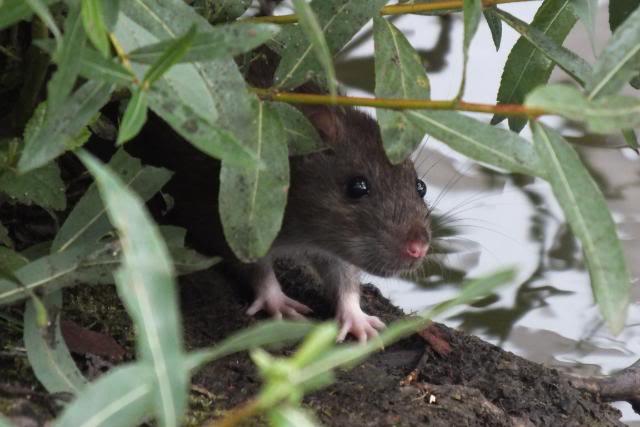 Rats sauvages DSCF4820