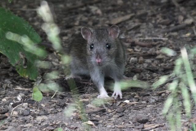 Rats sauvages DSCF4933