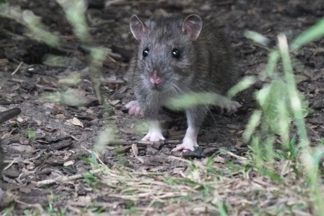 Rats sauvages DSCF4934