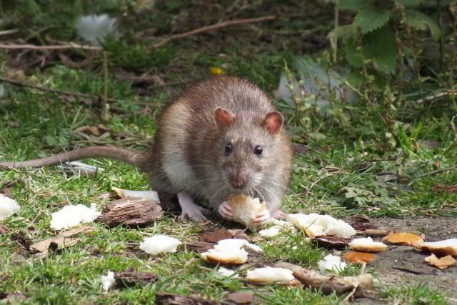 Rats sauvages DSCF4944