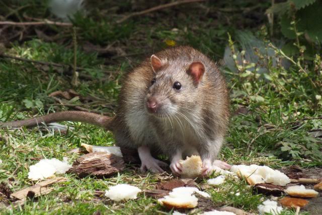 Rats sauvages DSCF4945