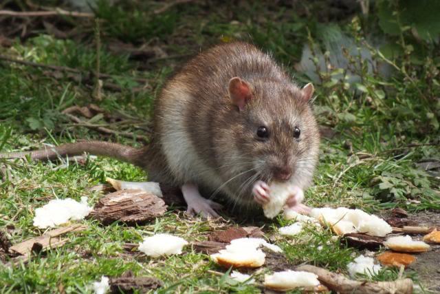 Rats sauvages DSCF4946