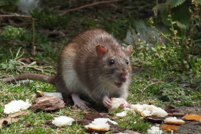 Rats sauvages DSCF4947