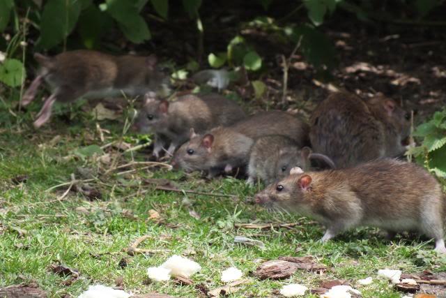 Rats sauvages DSCF4951