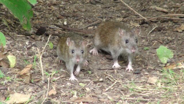 Rats sauvages PhotosHandy054