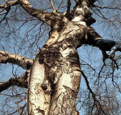 Pohon berbentuk body cewek Figurabi0