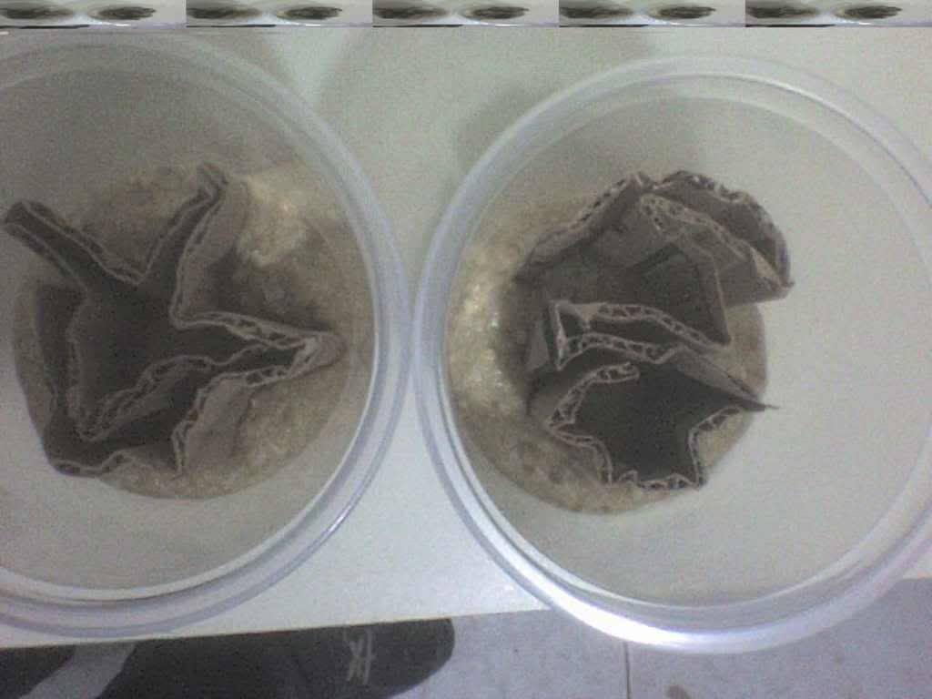 Receta y consejos para el cultivo de la mosca de la fruta (Drosophila Melanogaster) como alimento para dendrobates. DSC00511
