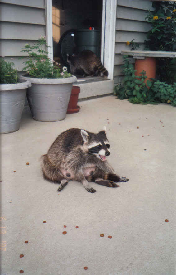 My Raccoons... Grannie2