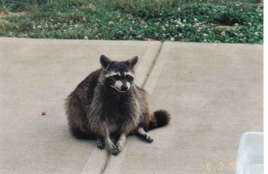 My Raccoons... Grannie3