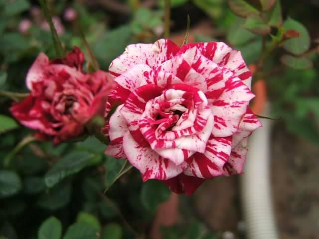 Hardy的玫瑰 DSCF8953
